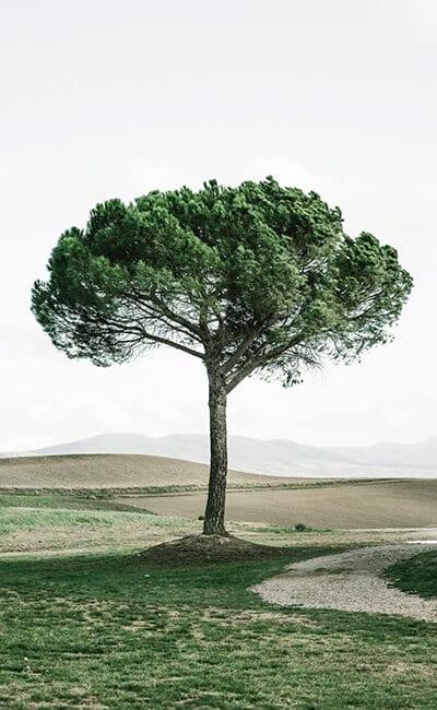 tuscan-tree-pinoli